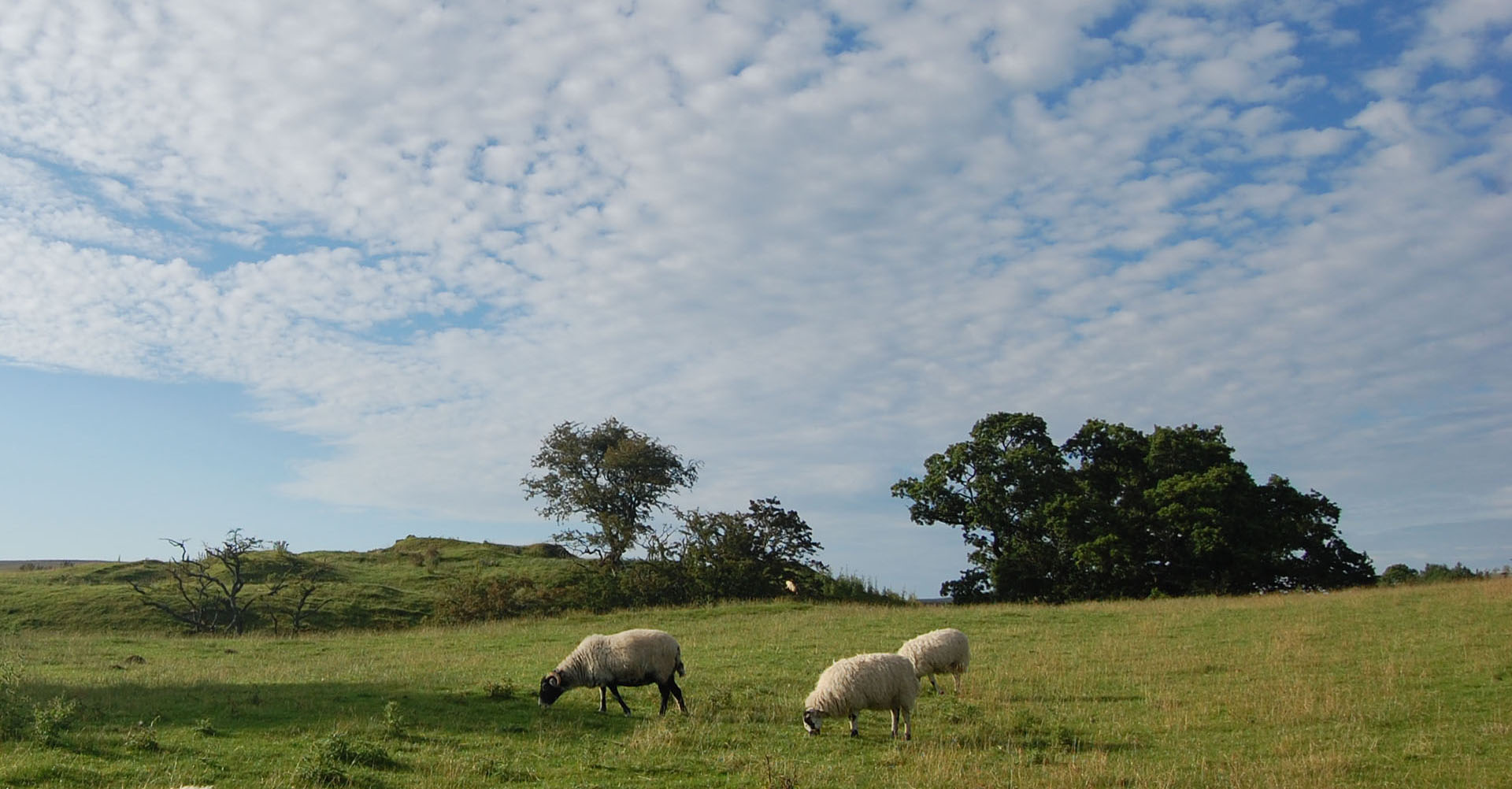 Grazing Sheep In a Field Somewhere Tynedale Northumberland